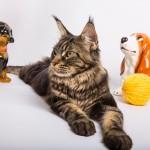 Кот Мейн-куна
