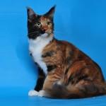 фото кошки мейн-кун, питомника Gentlefriends